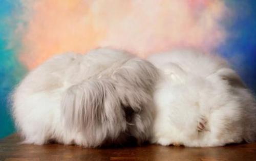 法国垂耳兔怎么洗澡