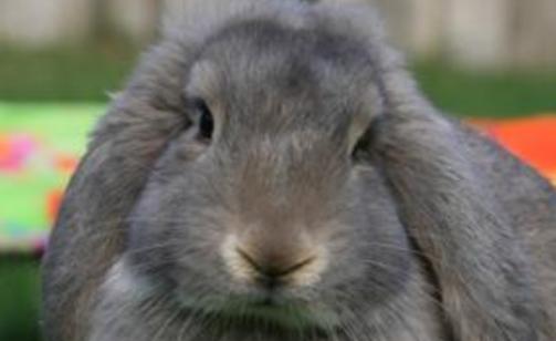 法国垂耳兔耳朵可以抓吗 法国垂耳兔的耳朵能抓吗