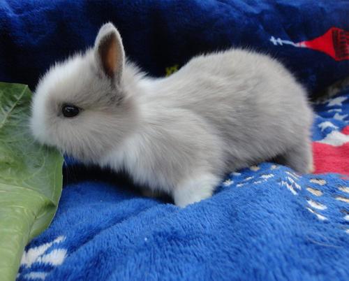 英国垂耳兔聪明吗