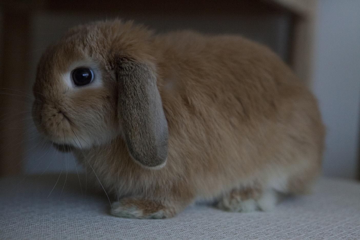 英国迷你垂耳兔怎么洗澡