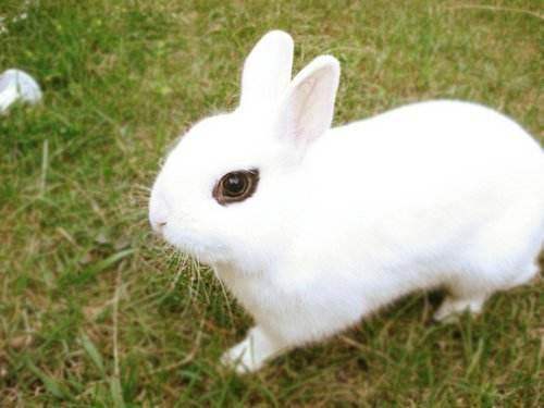 侏儒海棠兔臭吗 海棠侏儒兔有味道吗