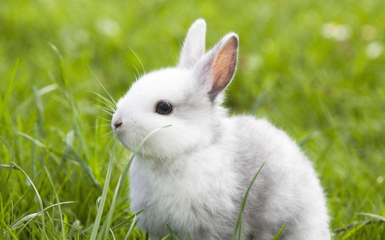 海棠侏儒兔凶吗 侏儒海棠兔咬人吗