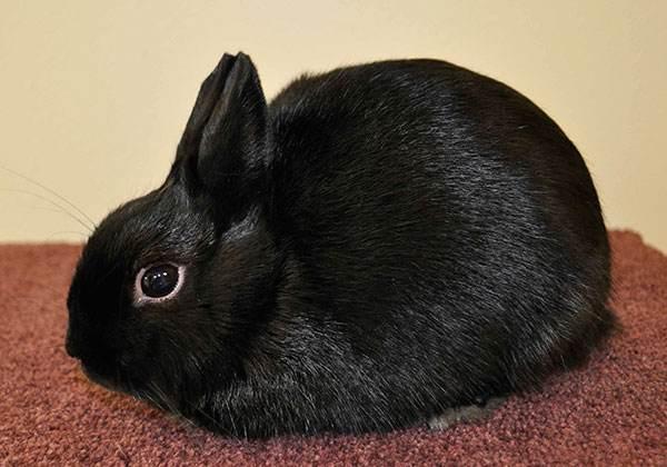 波兰兔吃什么食物