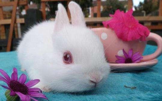 波兰兔喂食饲养 波兰兔饲养方法
