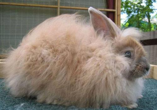 英国安哥拉兔多少钱一只 纯种英国安哥拉兔多少钱一只