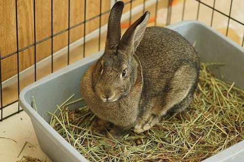 多瓦夫兔饲养方法