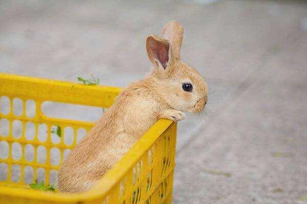 多瓦夫兔和侏儒兔区别