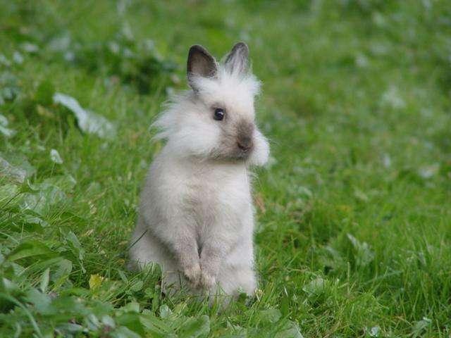 多瓦夫兔介绍 多瓦夫兔资料