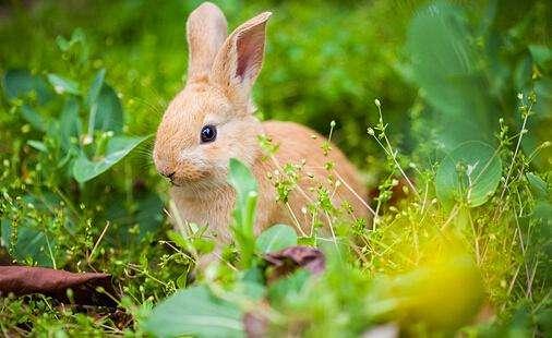 多瓦夫兔寿命 多瓦夫兔寿命多久