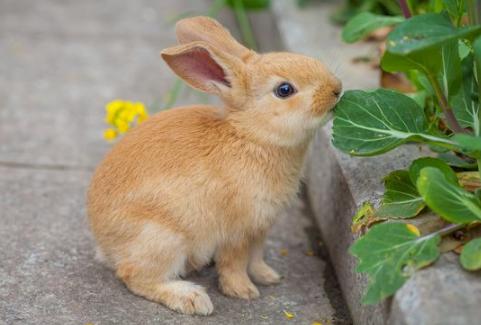 多瓦夫兔好养吗 多瓦夫兔好不好养