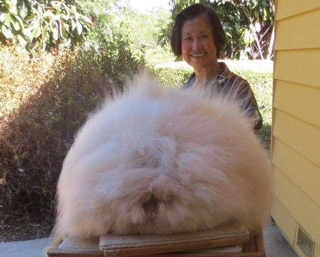 英国安哥拉兔怕冷吗