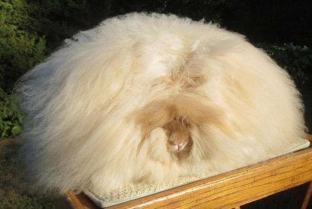 英国安哥拉兔好养吗