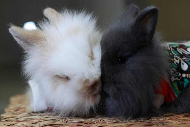英国安哥拉兔喂食饲养 英国安哥拉兔怎么养