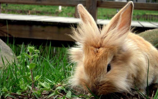 迷你雷克斯兔脾气 迷你雷克斯兔脾气怎样