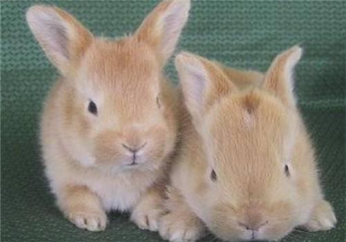 忌廉兔性格 忌廉兔性格怎样