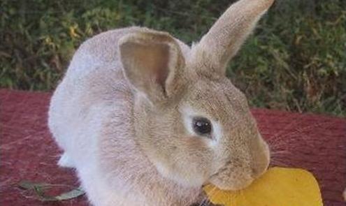 忌廉兔吃什么 忌廉兔吃什么为食