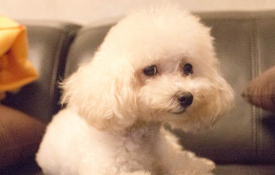 四个月大的泰迪算是幼犬吗
