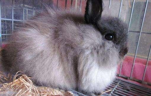 美国费斯垂耳兔能活多久 美国费斯垂耳兔能养多久