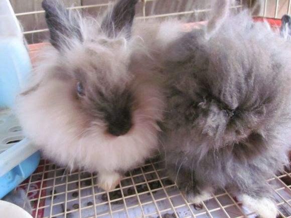 美国长毛垂耳兔多少钱一个 美国长毛垂耳兔一般多少元