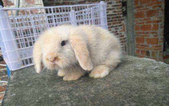 美国长毛垂耳兔价格 美国长毛垂耳兔的价格