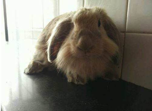 美国长毛垂耳兔市场价 美国长毛垂耳兔一般要多少元钱