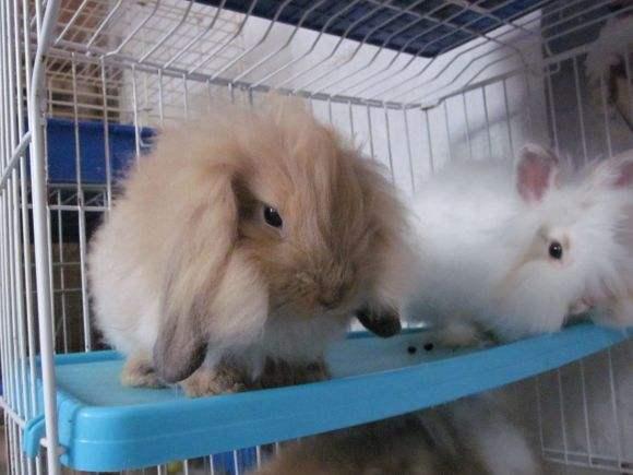 美国长毛垂耳兔寿命 美国长毛垂耳兔寿命多长