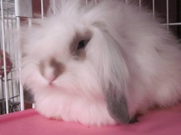 美国长毛垂耳兔能活多少年
