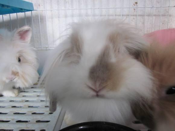 美国长毛垂耳兔怎么养 美国长毛垂耳兔在家怎么饲养