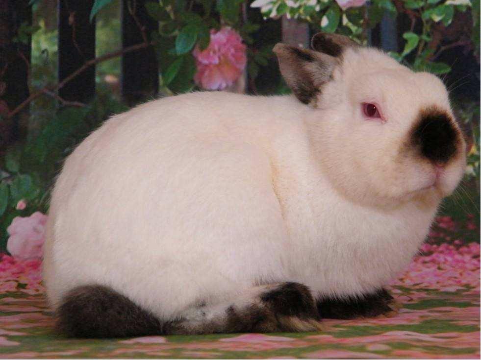 喜马拉雅侏儒兔多少钱