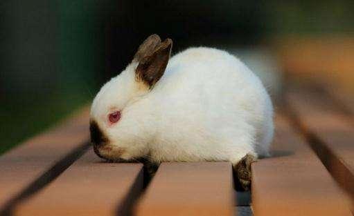 喜马拉雅兔价格 喜马拉雅兔价格多少