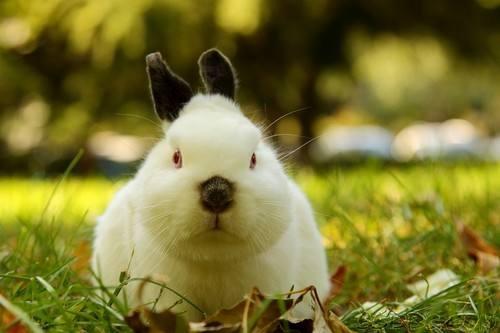 喜马拉雅侏儒兔价格
