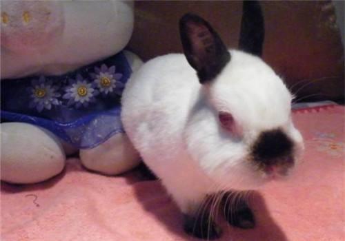 喜马拉雅侏儒兔聪明吗