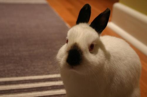 喜玛拉雅兔跟八点黑的区别