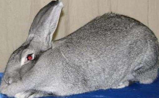 巨型金吉拉兔的寿命