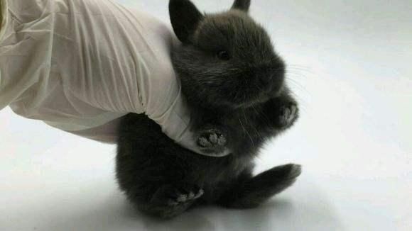 暹罗兔臭吗 暹罗兔臭不臭