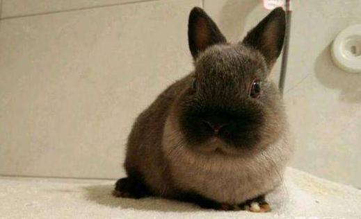暹罗兔可以活多久 暹罗兔可以活多少年