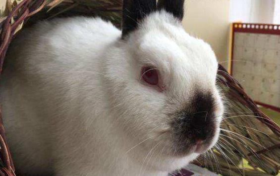 暹罗兔大小 暹罗兔有多大