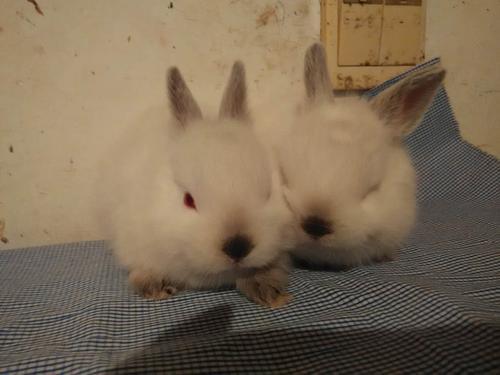 暹罗兔的繁殖 暹罗兔的繁殖方式