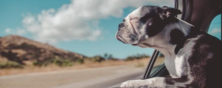 犬瘟热晚期能活多久