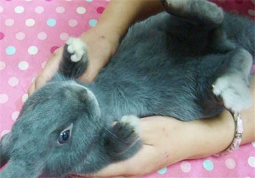 银狐兔养多久成年