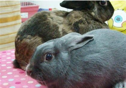银狐兔品种 银狐兔的品种