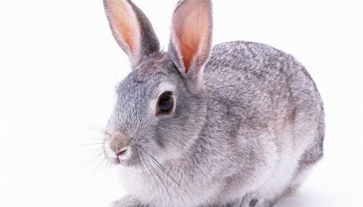 银狐兔怎么养 银狐兔怎么饲养
