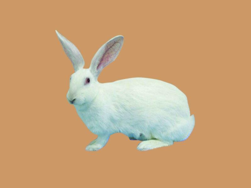 大耳白兔能喝水吗 大耳白兔喝什么水