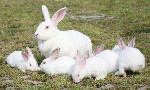 大耳白兔能吃苹果吗