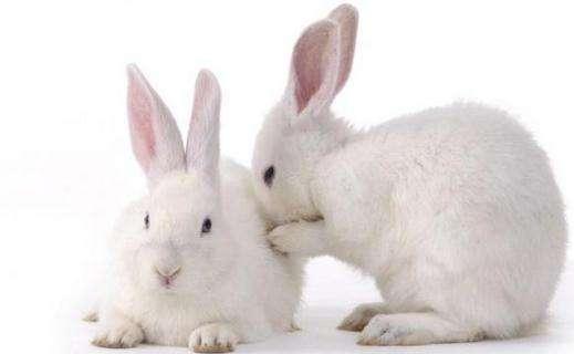 大耳白兔怎么养 大耳白兔好养吗