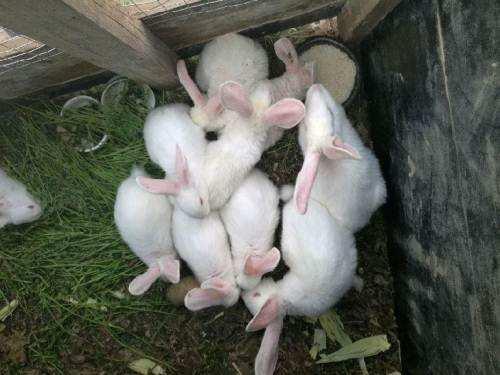 大耳白兔适合做宠物吗 大耳白兔可以当宠物吗