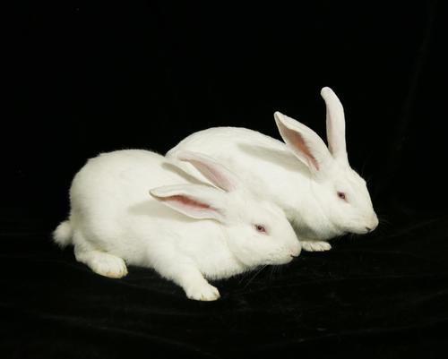 中国白兔每天吃多少兔粮