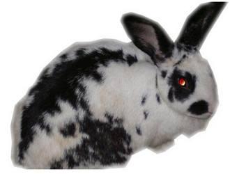 巨型格仔兔可以活多久