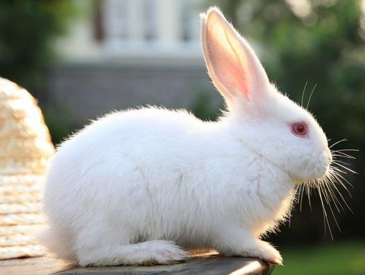 大耳白兔能活多久