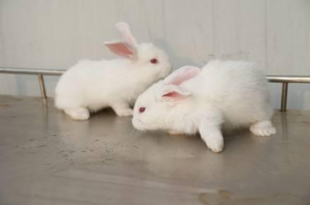 大耳白兔有哪些生活习性